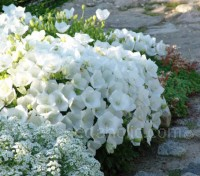 This dwarf, perennial campanula forms low-growing floriferous mounds that slowly spread to form an attractive ground cover.