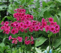 A Japanese import some 130 years ago, Primula japonica is a classic garden plant of easy culture.