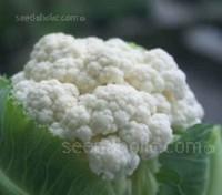 Cauliflower 'Autumn Giant'