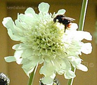 Cephalaria gigantea have very pretty pale butter-yellow scabious shape flowers.