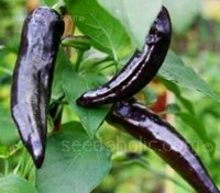 The fresh narrow chilaca can measure up to 22cm (9in) long and often has a twisted shape