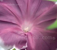 Ipomoea nil 'Chocolate'