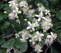 Clematis vitalba produces scented green-white flowers with fluffy underlying sepals,