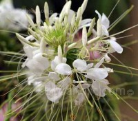 Helen Campbell' is a particularly attractive variety which produces scented white flowers throughout the summer