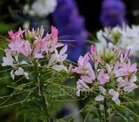 Cleome hassleriana 'Rose Queen'