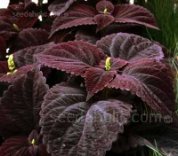 "'Dark Chocolate' is breathtaking, its foliage looking even darker in partial shade, its leaves neatly ""pinked."""