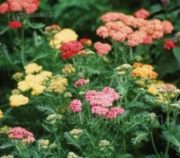 Achillea 'Colorado Mix' produces clusters of flowers in shades of pink, red, yellow, white and apricot.