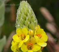 This versatile, fuzzy mullein is a gardener's friend, an herbalist's delight and an engineering marvel all on its own.