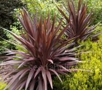 Cordyline australis 'Atropurpureum'
