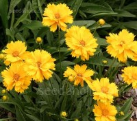 Sunray is a newcomer to the numerous coreopsis offerings, with double flowers they grow to about 45 to 50cm in height.