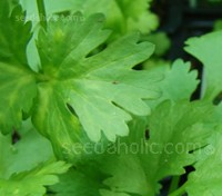 "Coriander ""Leisure"" has been bred for large, flavoursome leaf production. This variety is extra slow bolting and is great for hot weather regions."
