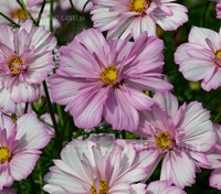 Cosmos 'Collarette' blooms with voluptuous semi double flowers, light pink with white stripes to pure white edged with pink.