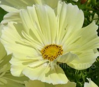 Cosmos bipinnatus 'Xanthos' is a totally new cosmos that's causing rather a stir in horticultural circles.