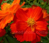 In the last decade Cosmos sulphureus has become increasingly popular.