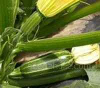 Marrow F1 Bush Baby is a baby marrow variety bred to satisfy gardener's demands for a smaller marrow.