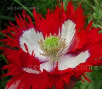 Papaver somniferum 'Danebrog', also known as 'Danish Flag' is a beautiful single red poppy variety with a broad white cross in the middle of each flower.