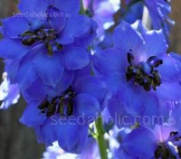 Delphinium 'Magic Fountains Dark Blue' has densely packed spires of dark blue flowers each with a dark bee.