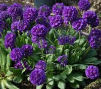 Primula denticulata is among the most handsome and striking of the primula family.