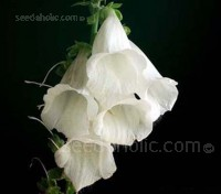 Pure white foxgloves are a supremely elegant plant.