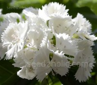 Dianthus barbatus 'Alba' is a pure white form of Sweet William, absolutely beautiful especially when massed, they flower all summer from May to August.
