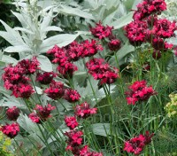In early summer, tall stems emerge from the foliage from which dense heads of dark ruby red flowers erupt.