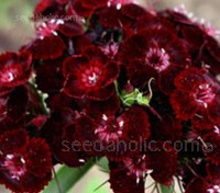 Dianthus Barbatus Nigrescens, simply referred to as 'Sooty' makes a stunning cut flower and border plant.