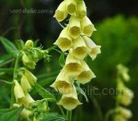 Extremely hardy, Digitalis grandiflora is one of the toughest and best performers of all the foxgloves.