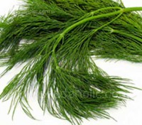 Dill Dukat is grown primarily for its abundant foliage, producing much more foliage before forming seed than most varieties.