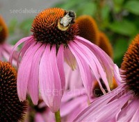 Echinacea is valued as a short-term stimulant to the immune system, it is also a beautiful plant!