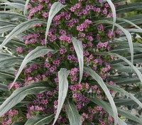 Showing the best qualities of its parents, Echium 'Pink Fountain' is undeniably an eye stopper.