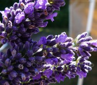 """Ellagance"" are first year flowering lavenders, boasting large flowers and a compact bushy form."