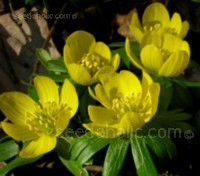 Eranthis hyemalis, the Winter Aconite beam a golden glow into the garden at a time when the sun rarely breaks through the clouds.