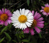 Erigeron is an amazingly versatile plant, being low-growing, happy in sun or partial shade and thriving in any well-drained soil.