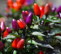 'Explosive Ember' is an upright, edible and very ornamental pepper
