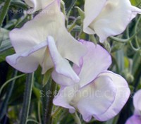 Lathyrus odoratus, Modern Grandiflora 'High Scent'