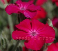 Rose Campion has silvery-grey felted leaves and lax sprays of long-stalked, vivid rose-purple flowers in late summer.