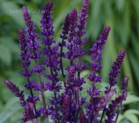 Salvia x superba 'Blue Queen'