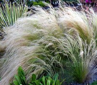 Stipa tenuissima plants are covered with masses of elegant pale feathery seed-heads