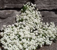 It can be used in borders and is excellent for trailing over the edges of containers, over stones or down walls.