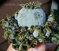 This ancient form of cultivated poppy produces the most unusual seed pod of all poppies.