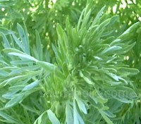 Wormwood, Artemisia absinthium has silvery-green foliage, it is a very attractive plant.