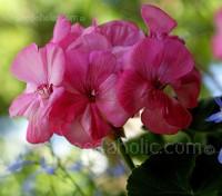 Pelargonium, Garden Geranium