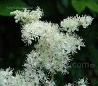 Our native Meadowsweet is a familiar sight in damp woods and meadows, on the banks of streams or wet ditches throughout Europe.