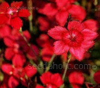 Dianthus 'Flashing Light'  is a spectacular first-year-flowering perennial that forms a dense evergreen mat.