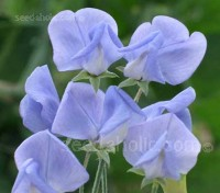 Originally bred by Morse-Vaughan in 1904. Flora Norton has clear light blue flowers and a superb fragrance.