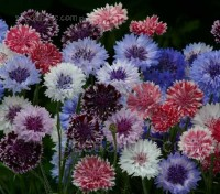 Cornflower 'Frosted Queen' feature fully double flowers that each have dark centres which fade into white outer petals, creating a frosted effect.