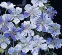 "Very easy to grow, Geranium ""Splish Splash"" is a fascinating, rare and prized border plant."