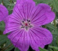 'Vision Violet' produces masses of large luminescent violet flowers from early spring through to late summer.