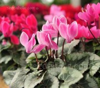 Cyclamen persicum, 'Giant Flowered Mix'