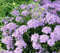 Compared to the traditional candytuft, this beefy species offers a decadent flower display.